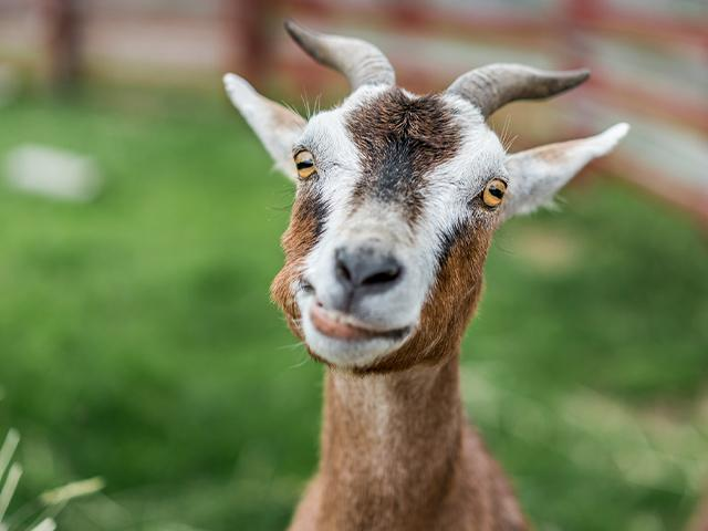 goofy brown goat