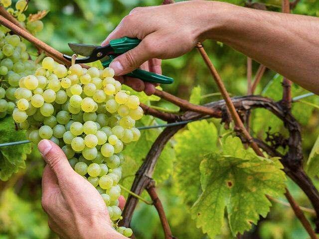 closeup of pruning a grapevine