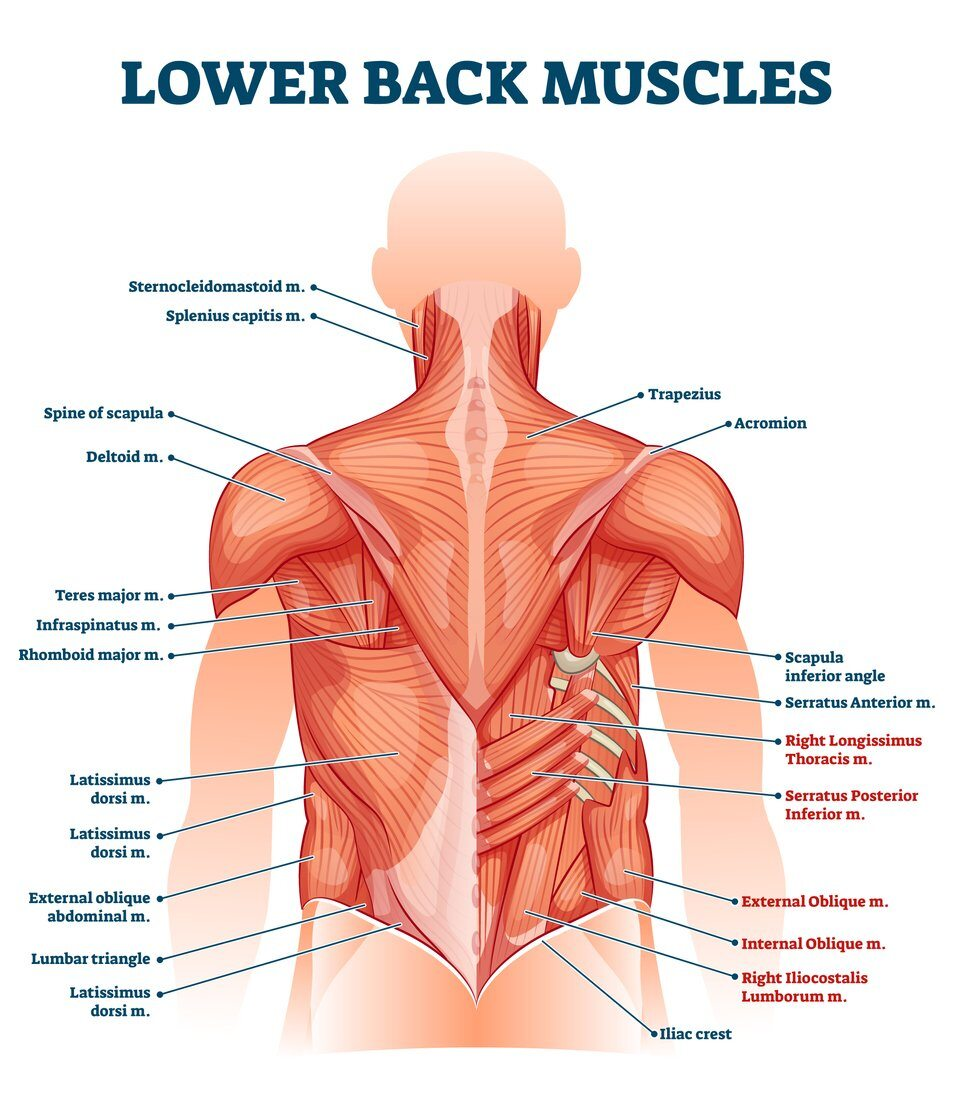 Lower Back Muscle Anatomy and Low Back PainJacksonville Orthopaedic Institute