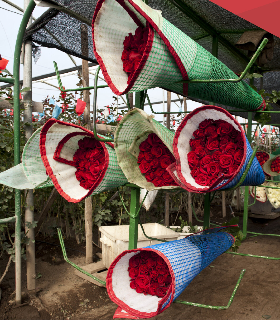 shipping-roses-ecuador