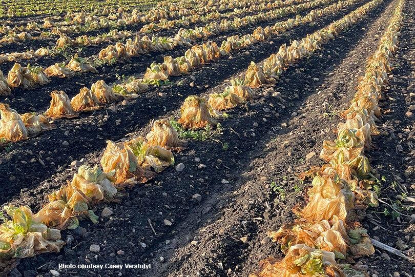 lettuce_winterstorm