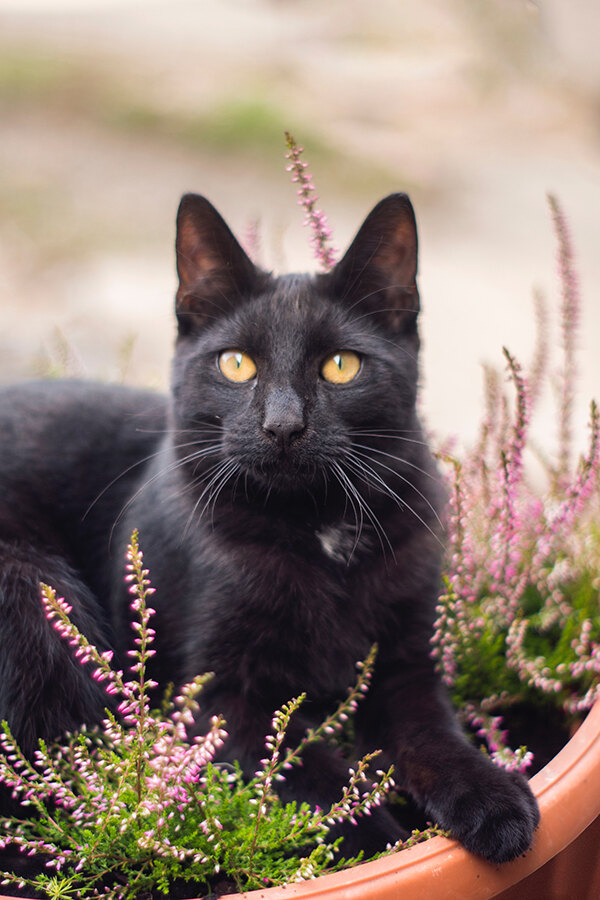 Why Black Cats Make The Best Pets Wellness Pet Food